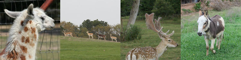 Miniature Donkeys, Black Buck Antelope, Capybara, and Fallow Deer