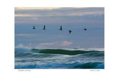 oregon coast birds over water_dxo_std.jp
