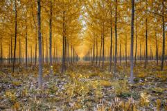 Cottenwood Trees