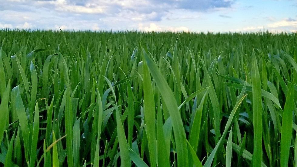 Certified Wheat & Barley seed