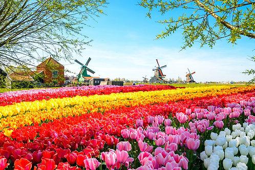 Tulpenblüte Amsterdam
