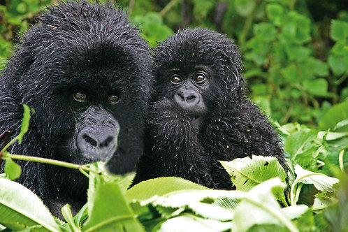 Uganda & Ruanda - Gorilla Trekking