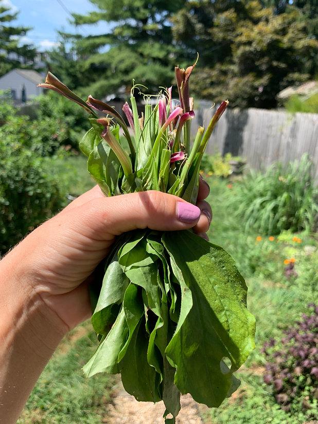 A handful of broadleaf plantain leaves in an urban backyard