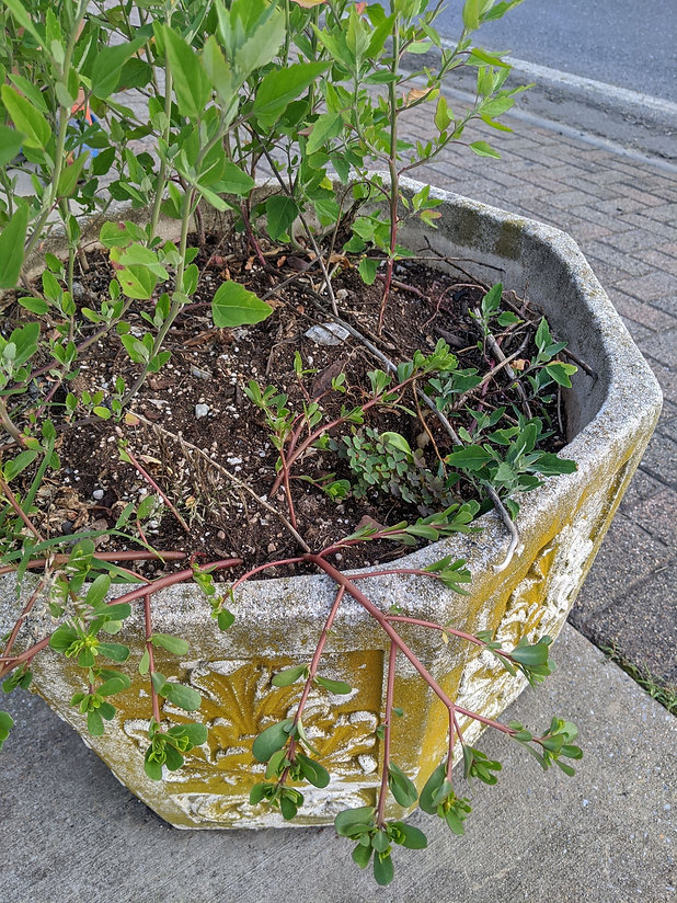 A concrete planter on a sidewalk containing purslane and sorrel