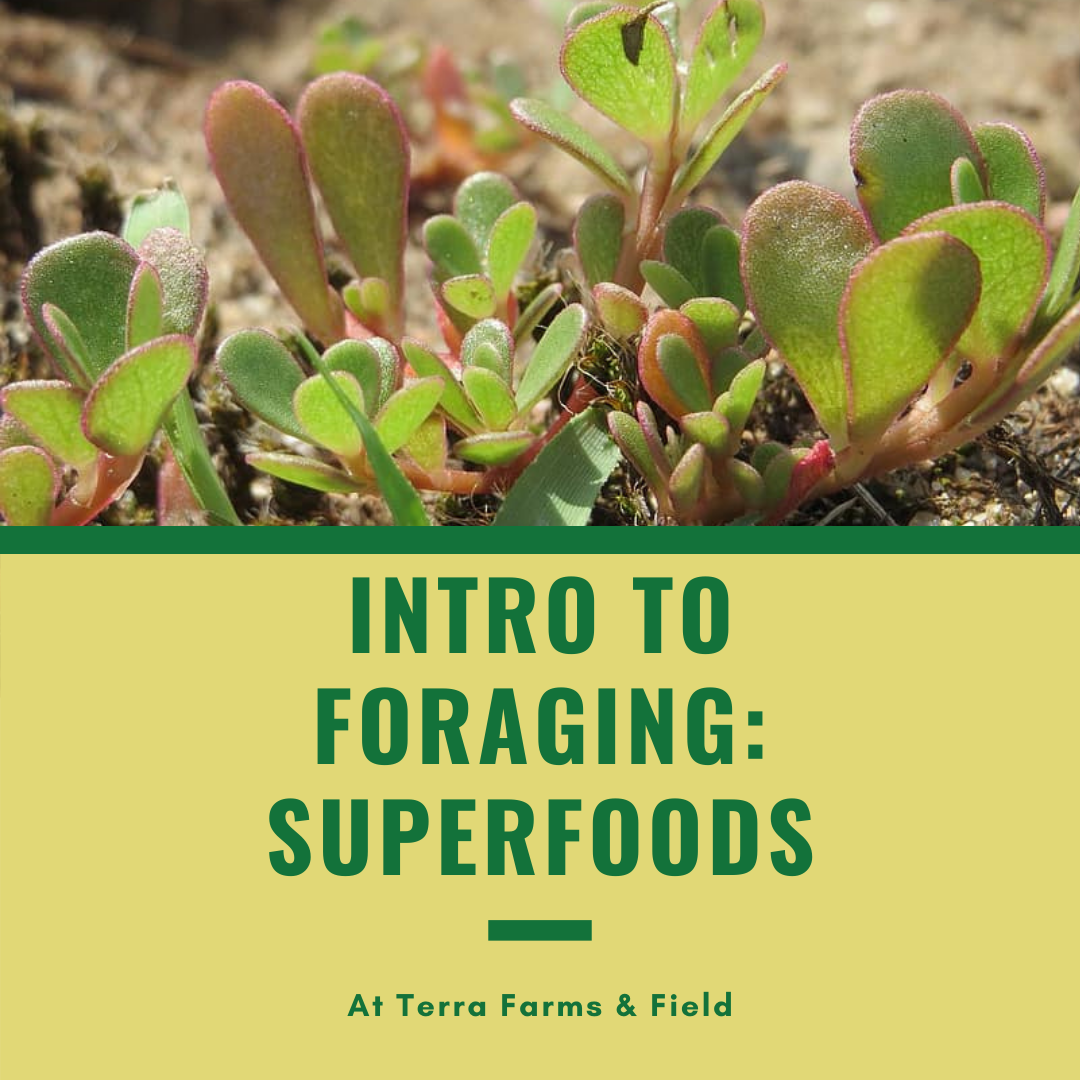 Intro to Foraging & Superfoods | TF