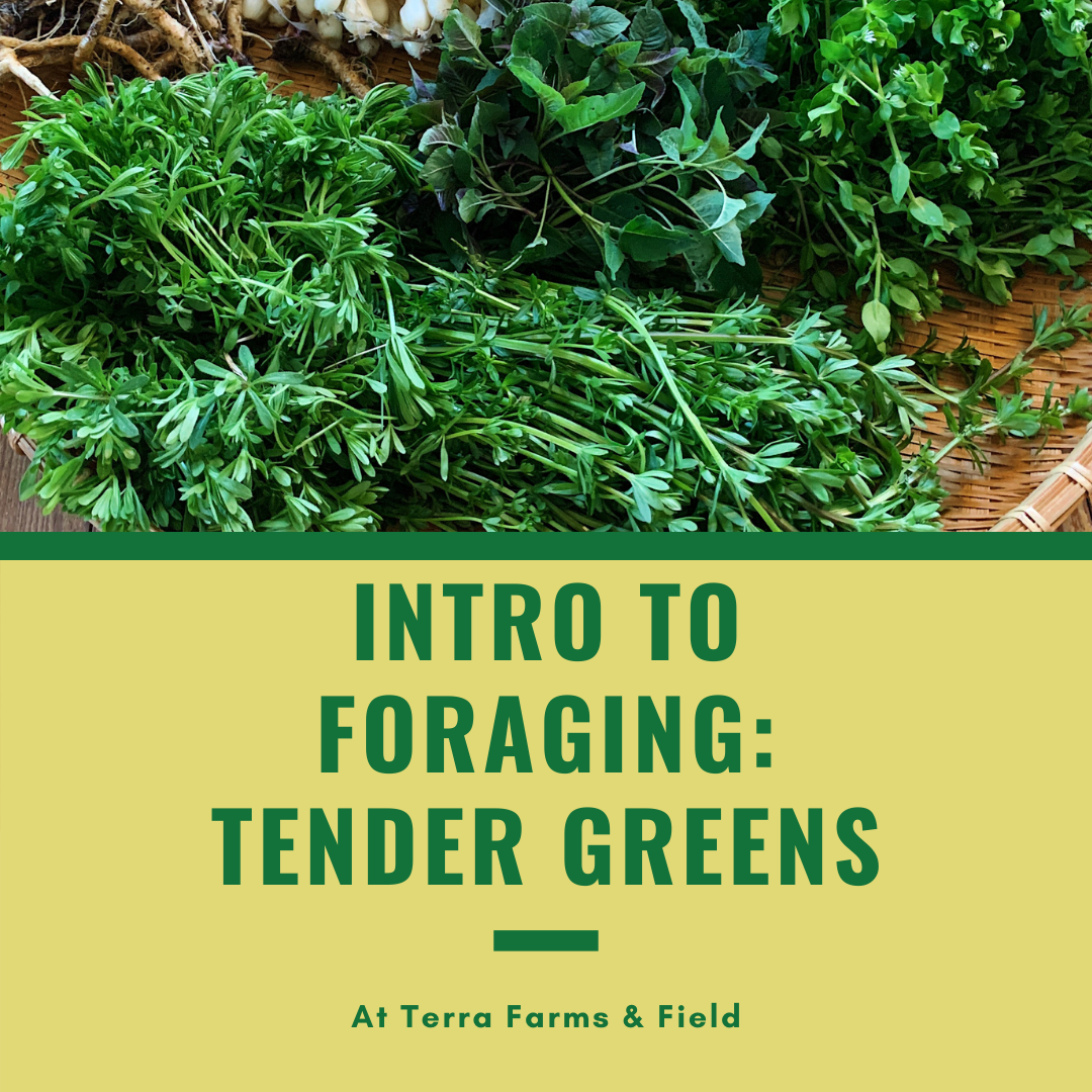 Intro to Foraging & Tender Greens | TF