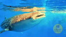 Oslob Whaleshark, Cebu
