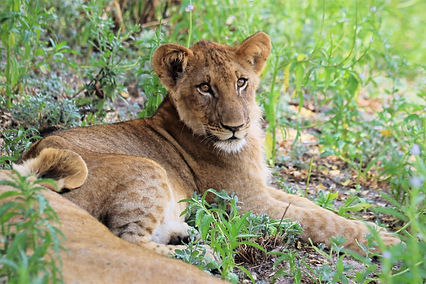 This young male lion was photographed by Lion Landscapes in Nyerere National Park