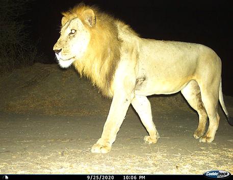 Nyerere CT photo_lion.JPG