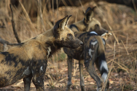 Nyerere NP wild dogs close up.JPG