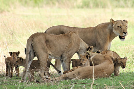 Three lionesses care for their cubs in Ruaha National Park.