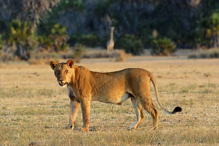 Pregnant or lactating females can be identified by their prominent teats, as seen on this lioness in Nyerere National Park, Tanzania.