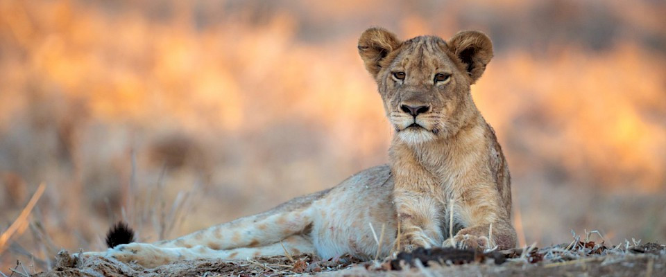 Lioness living in Lion Carbon protected forest (Ed Selfe Photography).