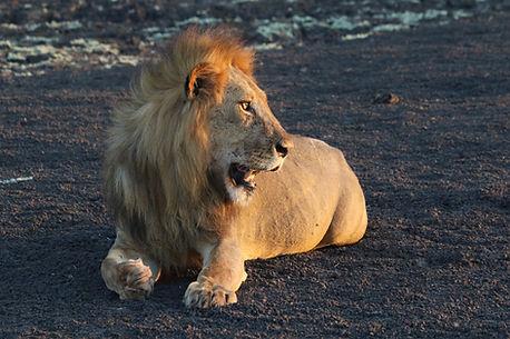 Nyerere NP lion.JPG