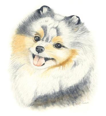 'Pomeranian', watercolour on paper  29.7 x 21cm