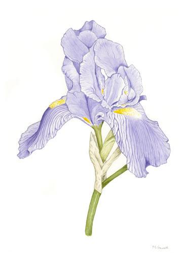 'Purple Iris', watercolour on paper 29.7 x 21 cm