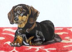 dachshund-mini