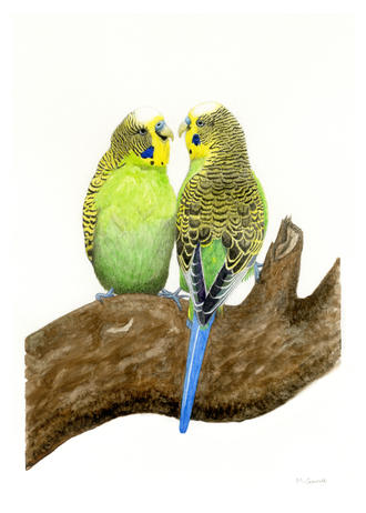 'Two budgies', watercolour on paper 29.7 x 21cm
