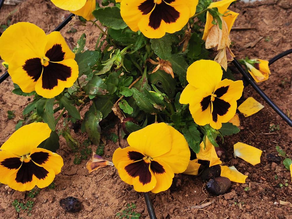 פרחי אמנון ותמר בצהוב