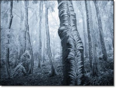 Iced forest
