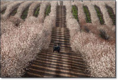 Huge Tractor marks in almond  fields