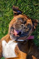 lincoln-pet-dog-boxer-photography.jpg