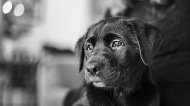 best-pet-photographer-christchurch-labrador.jpg
