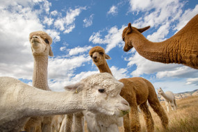 pet-photography-alpaca-farm-canterbury.jpg