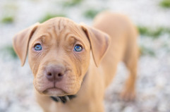 puppy-portraits-pet-photos-canterbury.jpg