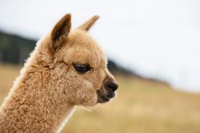 Alpaca-pet-photography-christchurch-animal.jpg