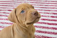 puppy-pitbull-photography-breeders-christchurch.jpg