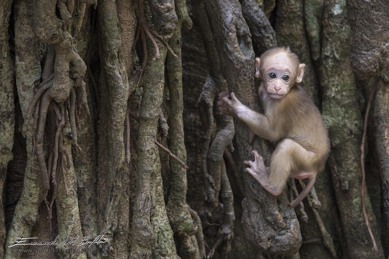 www.emanueledelbufalo.com #thailand #asia #monkey #animal #baby #cute #chiang_rai