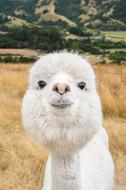 cute-alpaca-akaroa-canterbury-farm.jpg