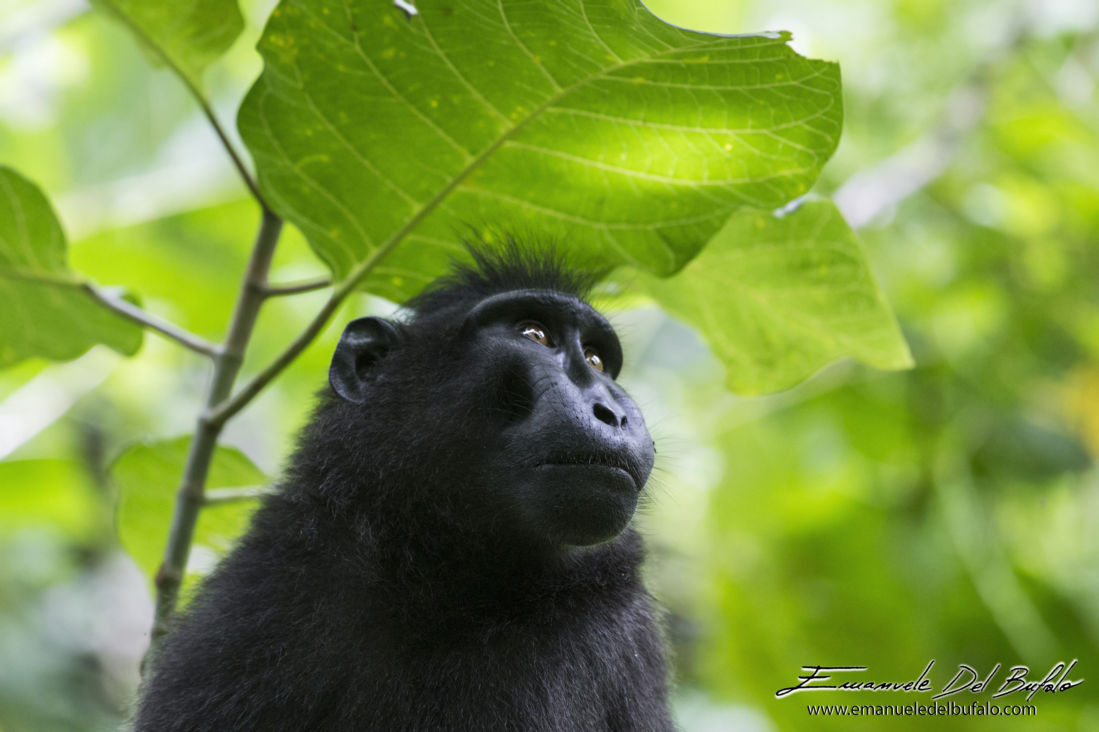 emanueledelbufalo.com #macaque #black #sulawesi #national #park