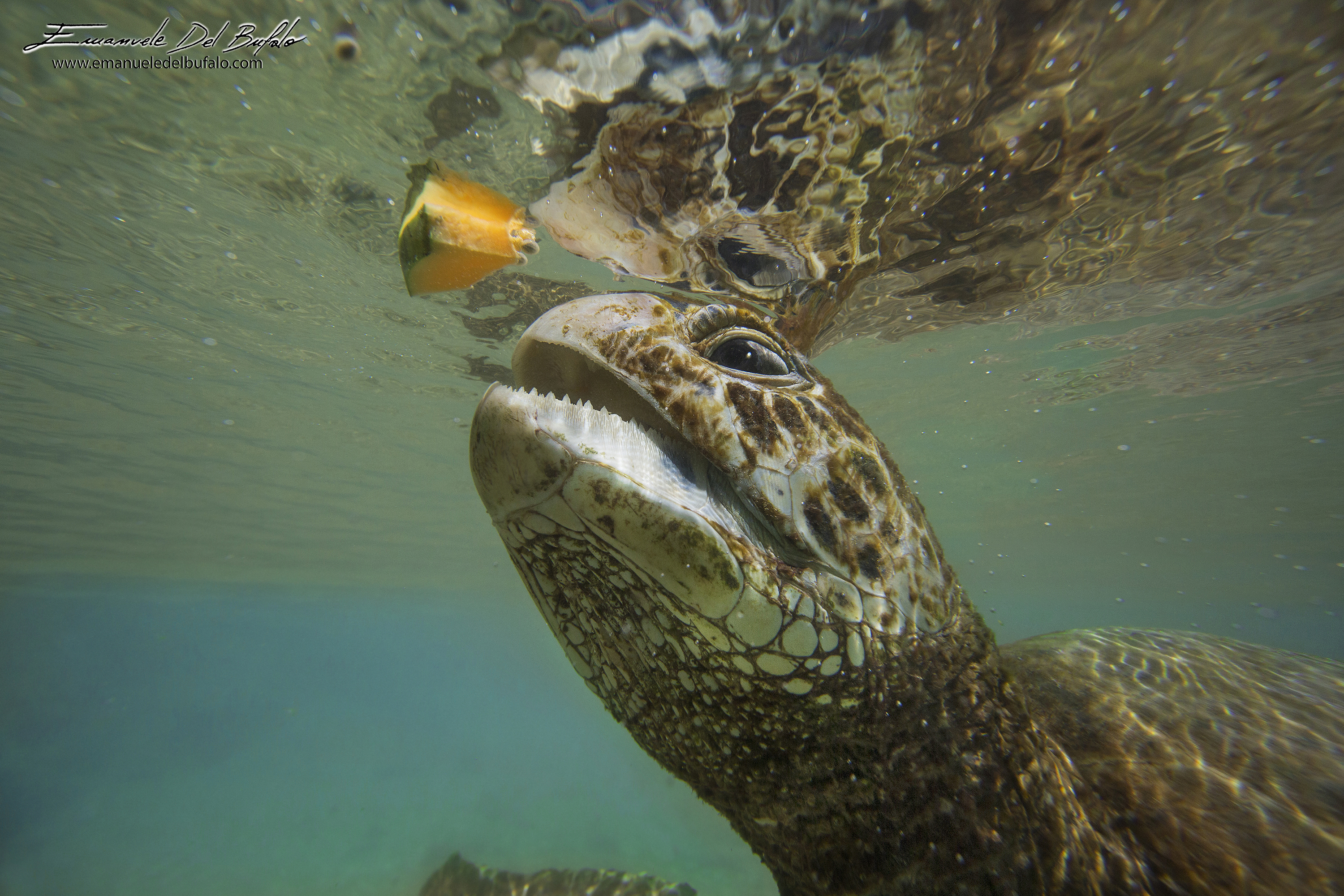 www.emanueledelbufalo.com #efate #turtle #papaya #animal #ocean #vanuatu #south_pacific #portrai #un
