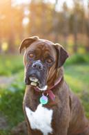 best-professional-pet-boxer-photos.jpg
