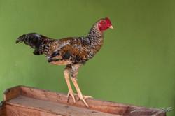 www.emanueledelbufalo.com #asia #laos #village #mekong #river #comunity #chicken #farm #local
