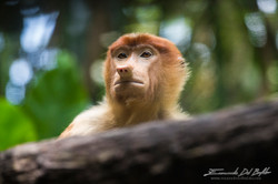 www.emanueledelbufalo.com #borneo #sarawak #monkey #wild #natural_park #portrait
