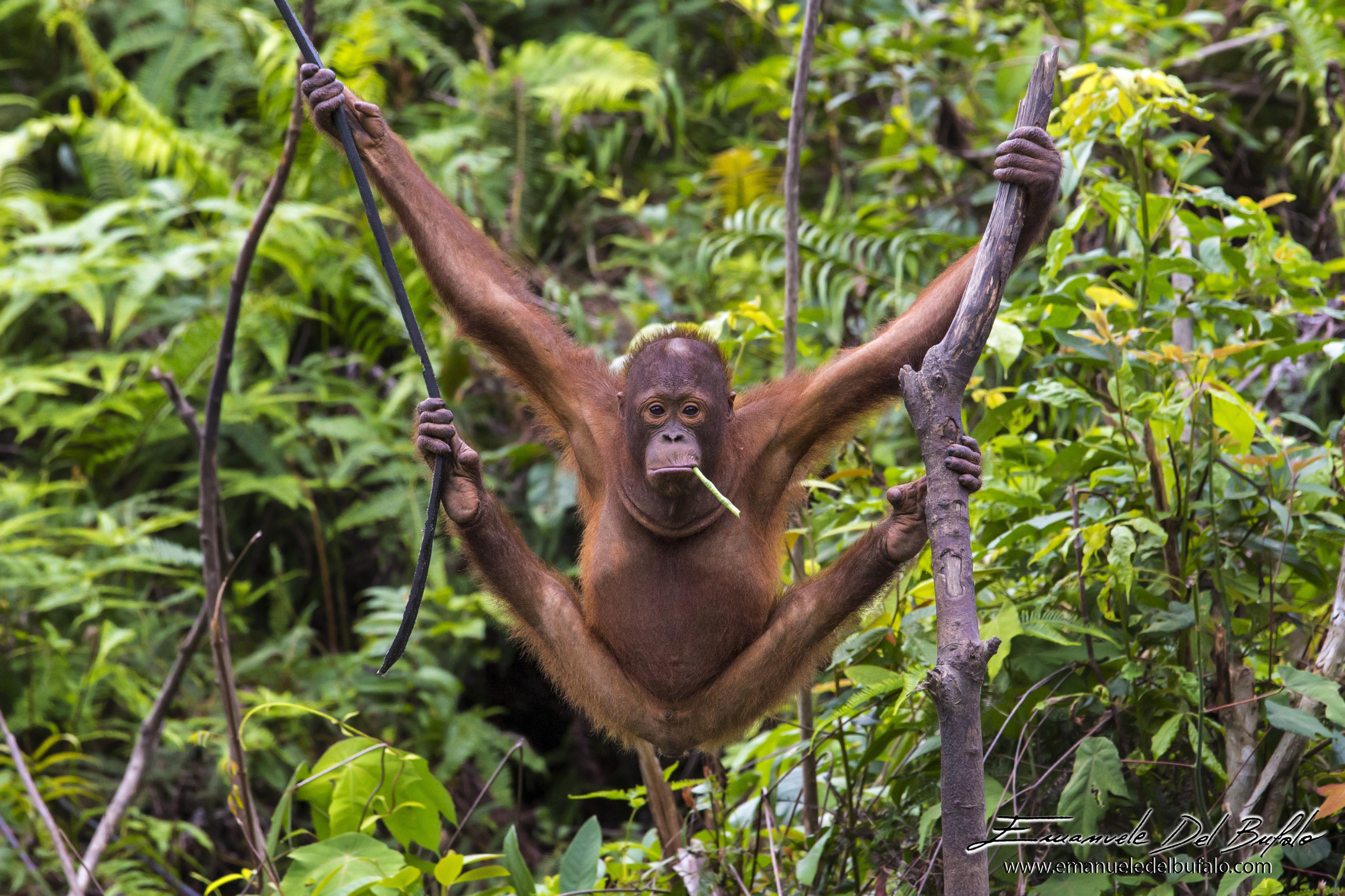 emanueledelbufalo.com #orangutan #borneo #jungle #sanboja #sarawak