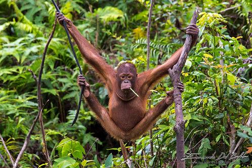 The Young Orangutan