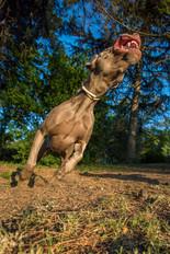 weimaraner-pet-dogs-christchurch-action.jpg