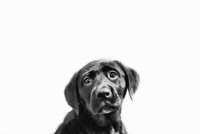 pet-photography-bw-christchurch-puppy.jpg