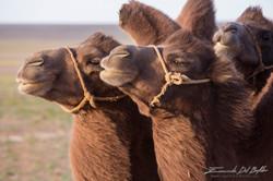 www.emanueledelbufalo.com #mongolia #travel #wild #photography #camel #central #thelongtermtraveler