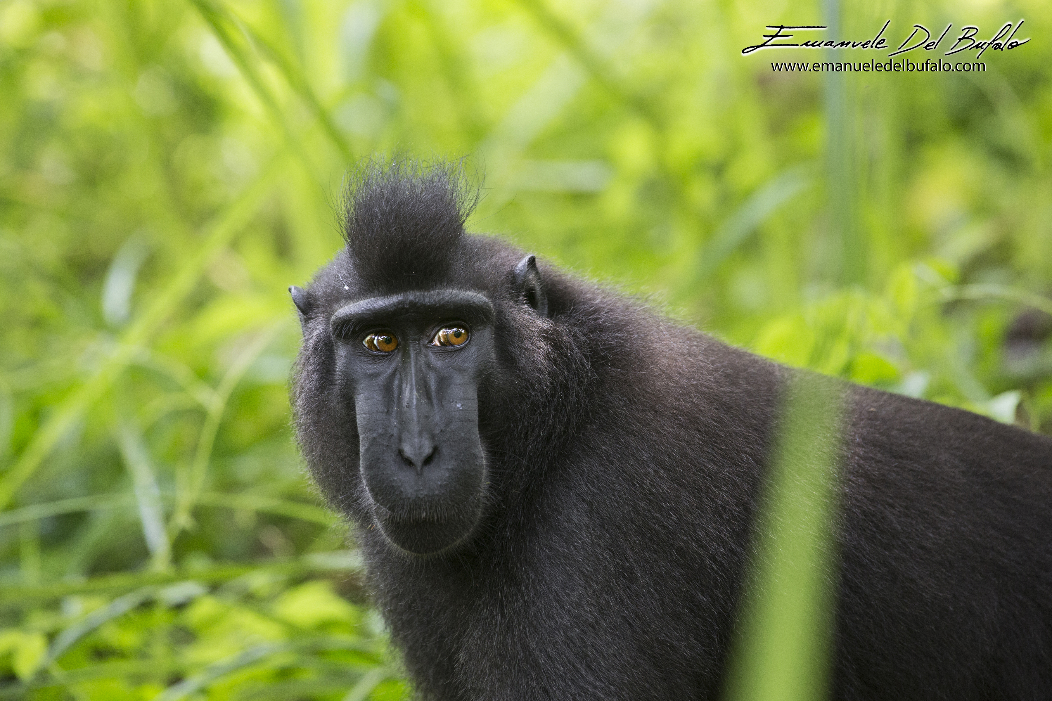 emanueledelbufalo.com #sulawesi #monkey #macaque #animal #wild