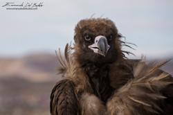 www.emanueledelbufalo.com #mongolia #gobi #desert #volture #bird #animal #travel