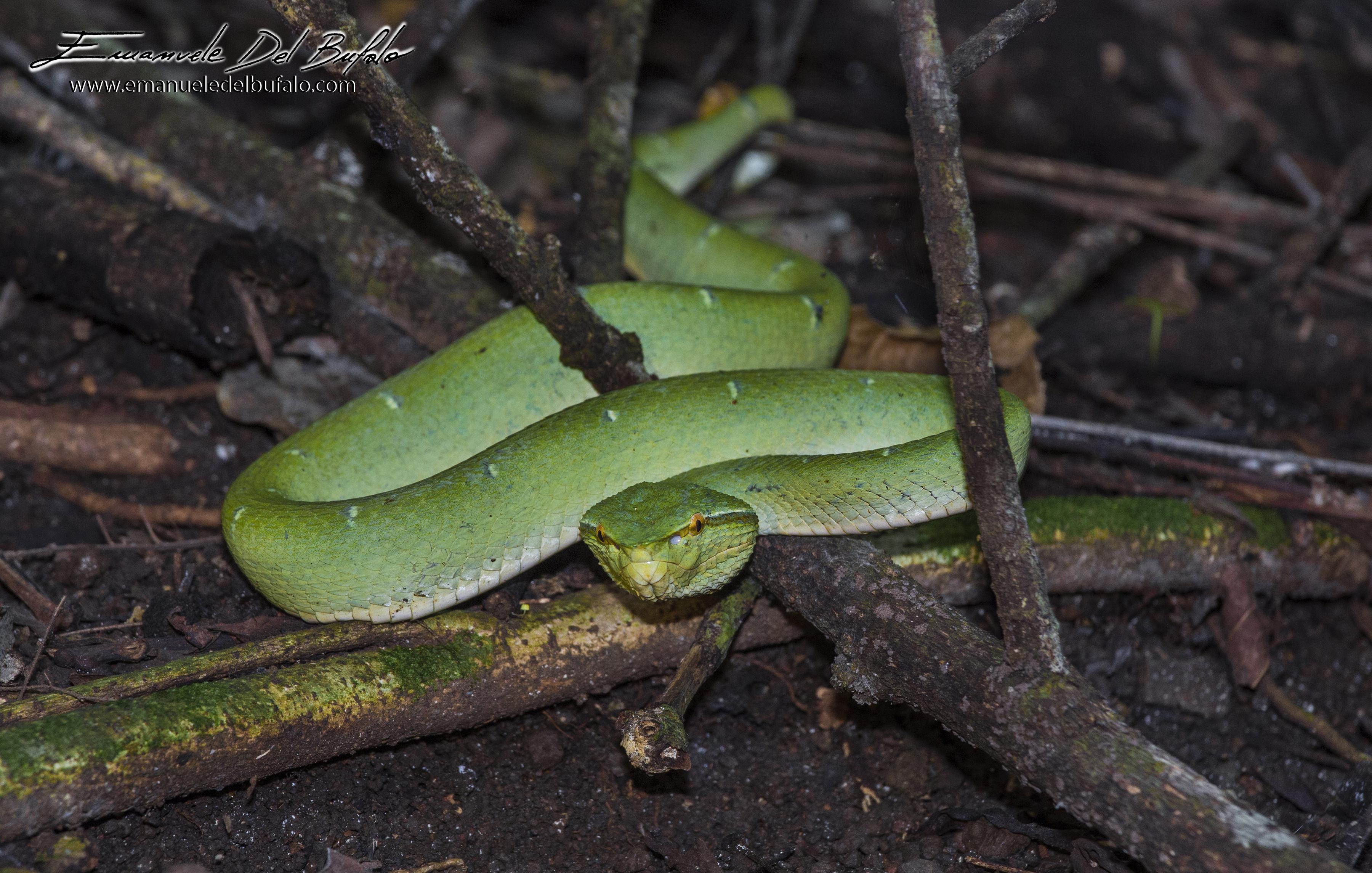 emanueledelbufalo.com #snake #sulawesi #nature #animale