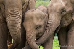 www.emanueledelbufalo.com #asia #thailand #elephant #brothers #animal #portrait #nature
