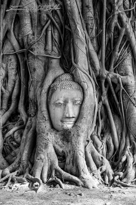 www.emanueledelbufalo.com #asia #ayutthaya #thailand #buddha_face #tree #culture