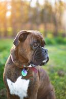 photographer-animal-session-dog-boxer.jpg