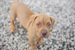nz-pet-photography-pitbull-puppy.jpg